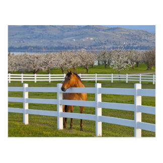 Actitudes del caballo por la huerta de cereza de postales