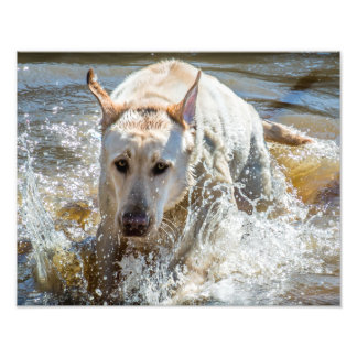 Active Yellow Labrador Splashing: Pet Photography Photo Print