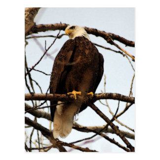 Acuarela de Eagle calvo Postal