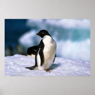 Ad?lie Penguins Poster