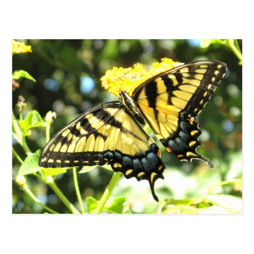 AD- Yellow Swallowtail Butterfly Postcard