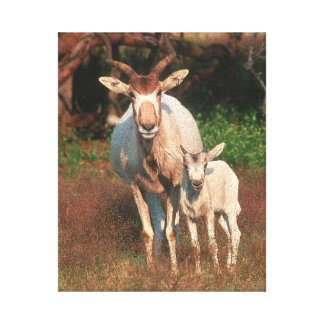 Addax / White Antelope / Screwhorne Antelope Canvas Print