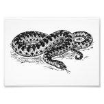 Adder Snake Photograph