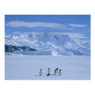 Adeliae de los pingüinos, del Pygoscelis de Adelie Tarjeta Postal