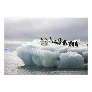 Adeliae del Pygoscelis del pingüino de Adelie), Fotografía