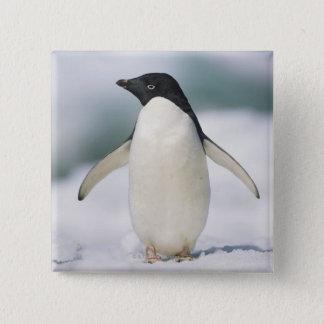 Adelie penguin, close-up button