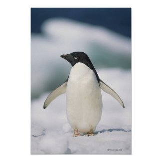 Adelie penguin, close-up poster
