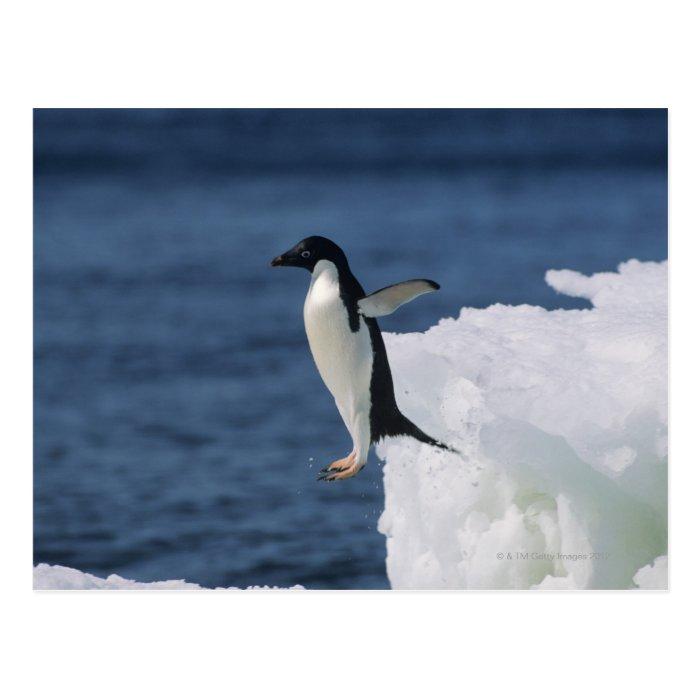 Adelie penguin leaping from iceberg postcard