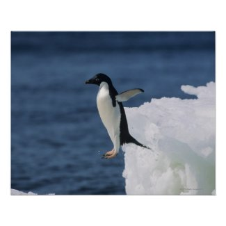 Adelie penguin leaping from iceberg posters