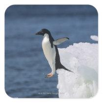 Adelie penguin leaping from iceberg square sticker