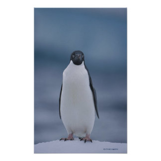 Adelie Penguin on Ice Poster