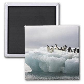 Adelie Penguin Pygoscelis adeliae), 2 Inch Square Magnet