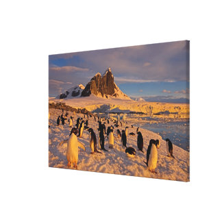 adelie penguin, Pygoscelis Adeliae, colony along Canvas Print
