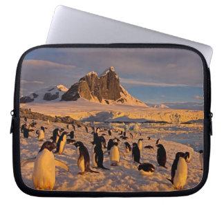 adelie penguin, Pygoscelis Adeliae, colony along Computer Sleeve