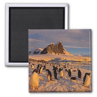 adelie penguin, Pygoscelis Adeliae, colony along Magnet