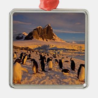 adelie penguin, Pygoscelis Adeliae, colony along Metal Ornament