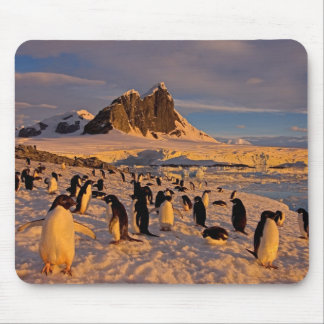 adelie penguin, Pygoscelis Adeliae, colony along Mouse Pad