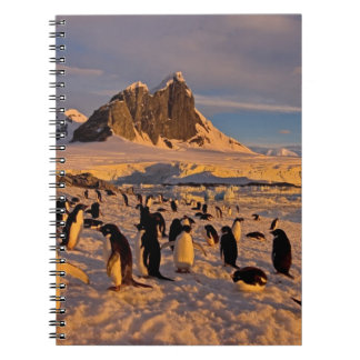 adelie penguin, Pygoscelis Adeliae, colony along Notebook