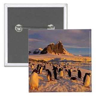 adelie penguin, Pygoscelis Adeliae, colony along Pinback Button