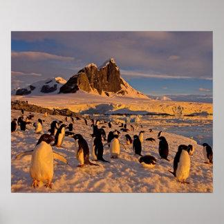 adelie penguin, Pygoscelis Adeliae, colony along Poster