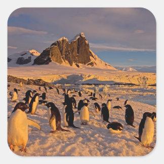 adelie penguin, Pygoscelis Adeliae, colony along Square Sticker