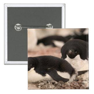 Adelie Penguin, Pygoscelis adeliae, on nesting 2 Inch Square Button