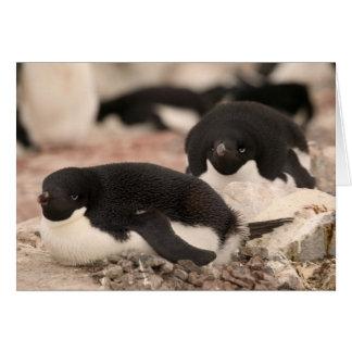 Adelie Penguin, Pygoscelis adeliae, on nesting Card