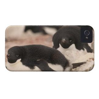 Adelie Penguin, Pygoscelis adeliae, on nesting iPhone 4 Case-Mate Case