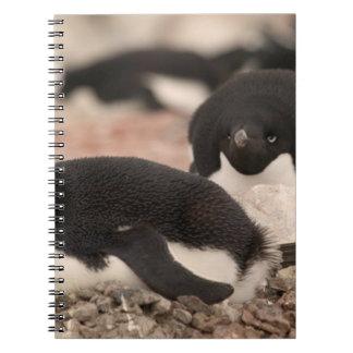 Adelie Penguin, Pygoscelis adeliae, on nesting Notebook