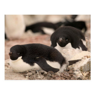 Adelie Penguin, Pygoscelis adeliae, on nesting Postcard