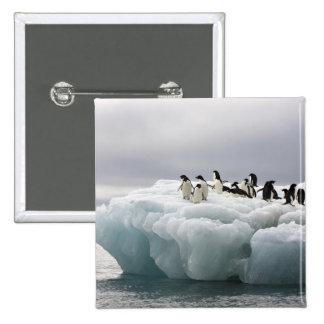 Adelie Penguin Pygoscelis adeliae), Pinback Button