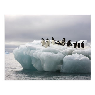 Adelie Penguin Pygoscelis adeliae), Postcard