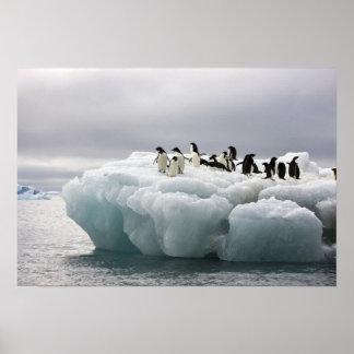 Adelie Penguin Pygoscelis adeliae), Poster