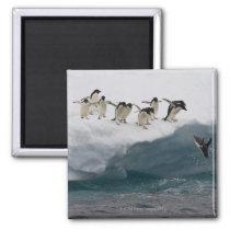 Adelie Penguins diving into sea Paulette Magnet