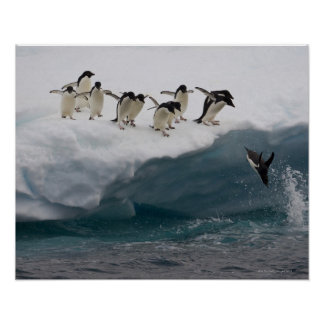 Adelie Penguins diving into sea Paulette Poster