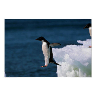 Adelie Penguins Leaping From An Iceberg Print