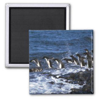 Adelie Penguins Magnet