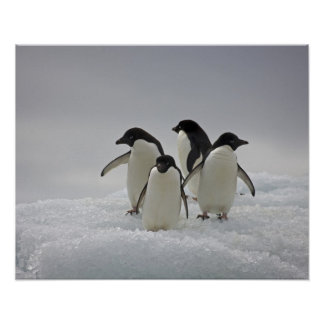 Adelie Penguins on Ice Flows Poster