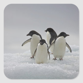 Adelie Penguins on Ice Flows Square Sticker