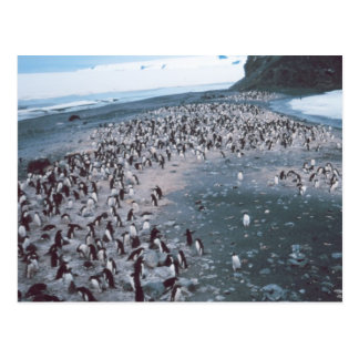 Adelie Penguins Postcard