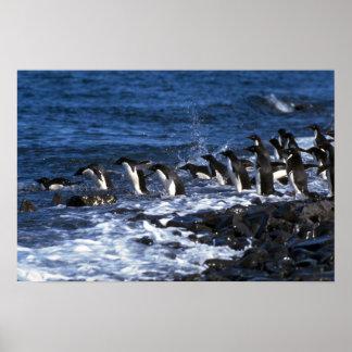 Adelie Penguins Print