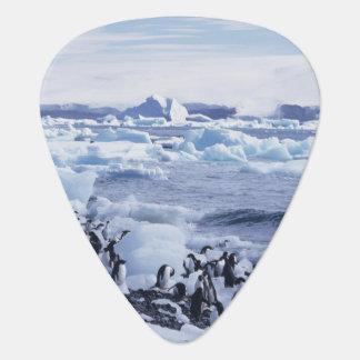 Adelie Penguins Pygoscelis adeliae) among the Guitar Pick