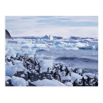 Adelie Penguins Pygoscelis adeliae) among the Postcard