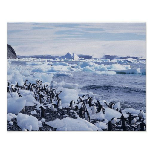 Adelie Penguins Pygoscelis adeliae) among the Posters