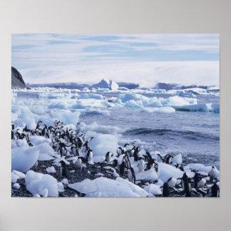 Adelie Penguins Pygoscelis adeliae) among the Poster