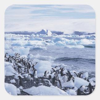 Adelie Penguins Pygoscelis adeliae) among the Square Sticker