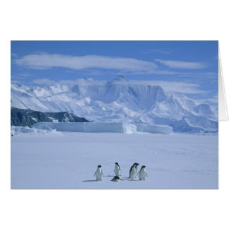 Adelie Penguins, Pygoscelis adeliae), Card