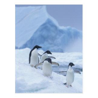 Adelie Penguins (Pygoscelis adeliae) on ice, Postcard