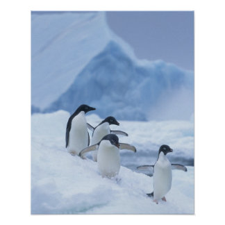 Adelie Penguins (Pygoscelis adeliae) on ice, Poster