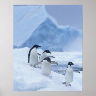 Adelie Penguins (Pygoscelis adeliae) on ice, Posters